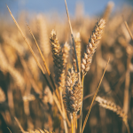 Global Wheat Market Outlook